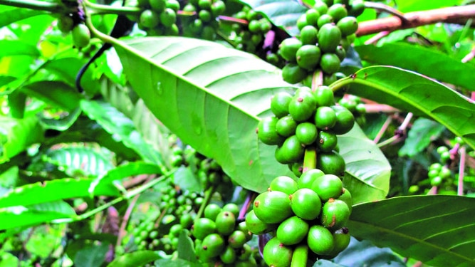 Pronostican récord en producción de café